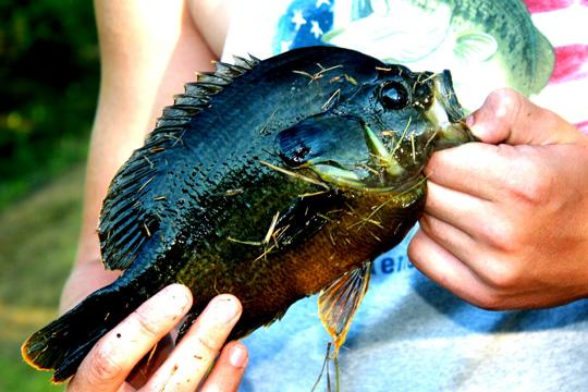 A+hybrid+bluegill+caught+by+Sam+Shenk%2C+of+Meriden%2C+Kan.+These+hard-fighting+fish+are+a+cross-breed+between+bluegills+and+green+sunfish.%0A