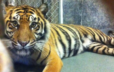 Topeka Zoo Sumatran tiger, named Jingga, is pregnant with three cubs. Jingga is due the first week of May but could deliver this week.
