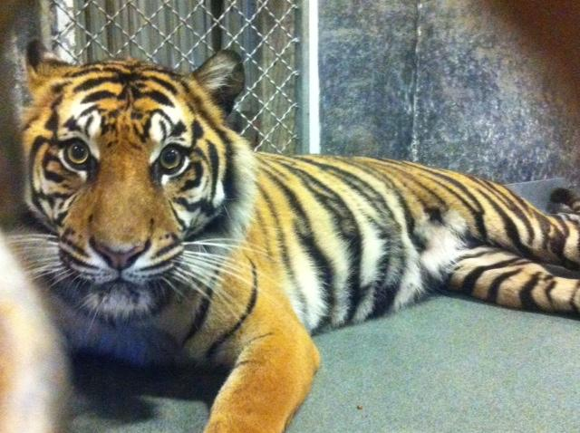 Topeka Zoo Sumatran tiger, named Jingga, is pregnant with three cubs. Jingga is due the first week of May but could deliver this week.