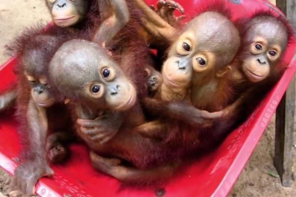 Baby orangutans are learning crucial survival skills at Indonesia's newly opened forest school, which was created by the International Animal Rescue. Currently, around 100 orphaned orangutans live at the school.