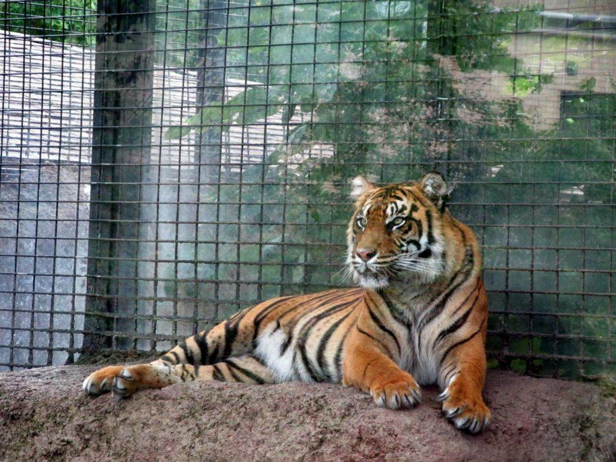 Here+kitty+kitty%3A+%E2%80%9CJingga%2C%E2%80%9D+A+tiger+at+the+Topeka+zoo+relaxes+in+her+cage.+The+Sumatran+Tiger+has+been+under+closer+watch+since+her+pregnancy+was+discovered.