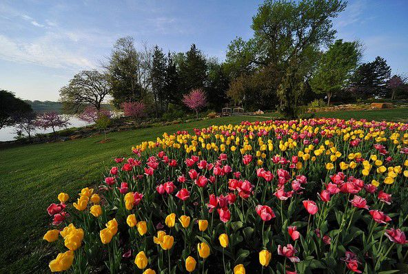 A plethora of colors: Tulips come in a variety of beautiful colors and often change as the blooming season continues. Highly dependent on the weather, tulips only bloom for a few weeks before laying dormant the rest of the year.