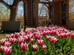Heralds of spring: thousands of flowers will be blooming throughout April at three locations in Topeka. Tulip Time occurs every year and is a great opportunity to enjoy the fruits of mother nature.