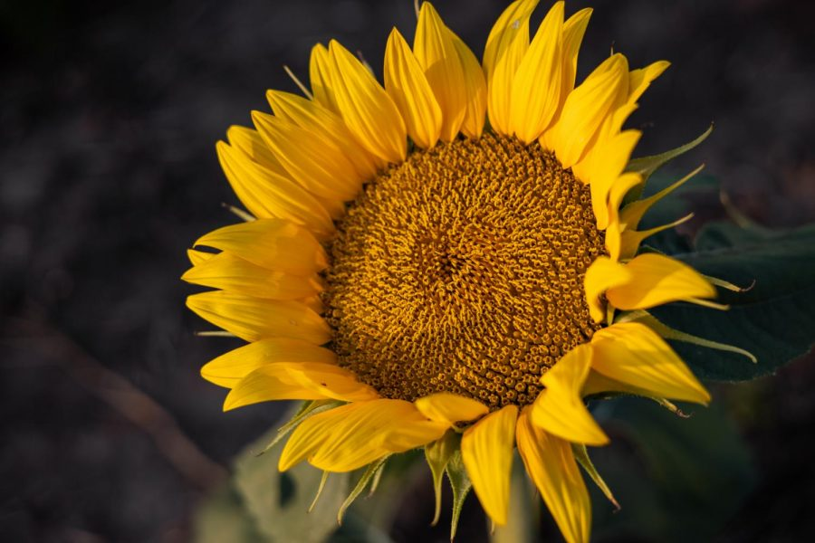 It was all yellow: Young sunflowers will track the sun, facing east in the morning and west in the evening. Berry Hill UPick Farm plants sunflowers every year for the public to enjoy. The farm projects its next field to bloom Oct. 15-20, 2021.